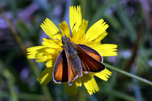The European Skipper butterfly was in great abundance during this year's Rogue River butterfly count.
