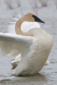 OUT-TrumpeterSwan