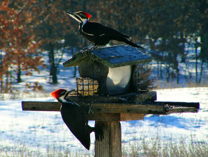 This photo shows two Pileated Woodpeckers eating at a feeder at the home of David Marin, of Nelson Township, in 2013. The male is on the lower left. Photo by David Marin.
