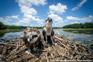 Michigan's osprey population, once threatened, is making a comeback with support from the Nongame Wildlife Fund.