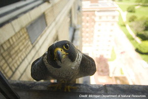 Peregrine falcons, which had been virtually eradicated from eastern North America at one time, today are successfully nesting atop places like urban buildings and bridges.