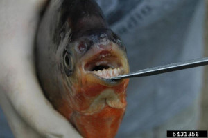 OUT-Pet-fish-Red-belliedpacu