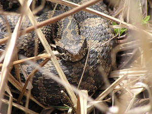 Eastern massasauga rattlesnake. Photos by: Dan Kennedy