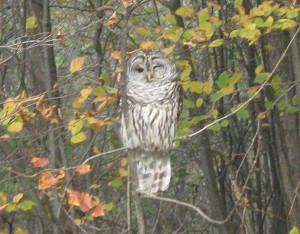 n-owl-barred