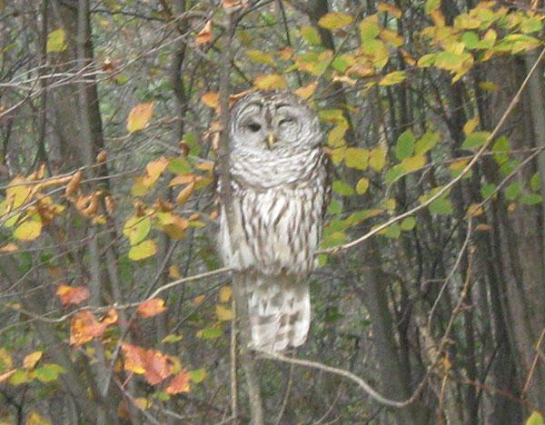 Barred Owl Sounds Like Dog