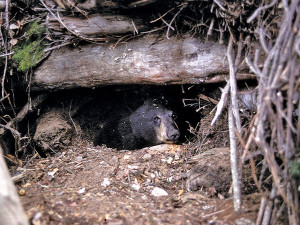 _out-bear-dens-yearling-in-den