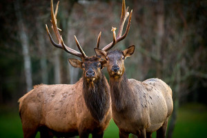 A bull and cow elk in Michigan.