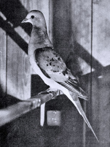 Photograph of a female Passenger Pigeon (Ectopistes migratorius) in captivity from the year 1898.