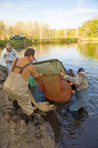 Volunteer members of the West Michigan Walleye Club lift a fyke net (a bag net for catching fish) of fingerlings out of a DNR walleye pond near Belmont in Kent County. Photo courtesy Michigan DNR.