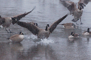 Giant Canada geese were once thought to be extinct, but today are very plentiful around Michigan.