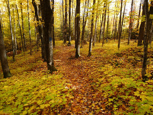 Hovels Main Block walking path fall: Walking paths through the forests of the Pilgrim River property will allow for abundant opportunities for public recreation. Michigan Department of Natural Resources