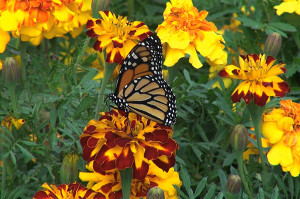 Creating a pesticide-free butterfly garden helps children learn about nature, while helping the insects and birds in your own backyard.