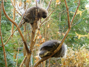 Two North American porcupines in a tree in Quebec, Canada. Photo by Wikipedia user Mattnad.