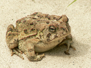 Fowler's toad is one of the species in decline in Michigan.