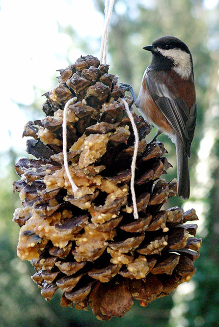 A home-made bird feeder can attract many species. This is a Chestnut-backed Chickadee, which is found on the West Coast and in the Pacific Northwest. Photo by Phil Khaler.