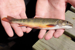The public is welcome to comment on the DNR's draft Inland Trout Management Plan, designed to protect species like Michigan's state fish, the brook trout.