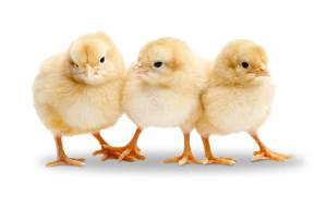 N-chicks