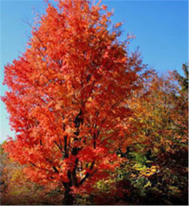 A red maple is one of the trees you can get with a $10 dollar donation to the Arbor Day Foundation.