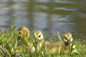 Goslings are a common sight in Michigan in the spring.