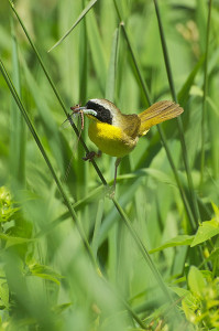 Common yellowthroats are among the many bird species that will be celebrated with birding events around the state this spring.