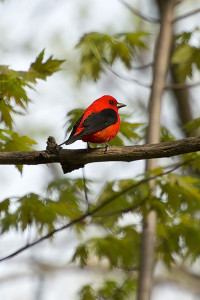 scarlet tanagers are among the many bird species that can be found on Michigan's birding trails