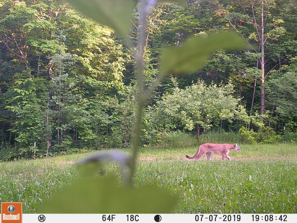 A cougar walking across someone's field was caught on a trail camera.