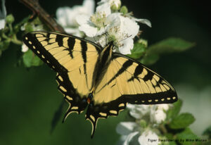 Eastern Tiger Swallowtails are among the largest butterflies. Photo by Mike Moran.