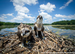 Nongame Wildlife Fund helps aid comeback success stories