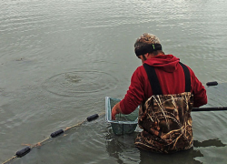 Cold weather a hot time for minnow harvesters