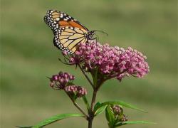 Wintering Monarchs
