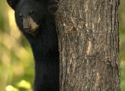 Black bear education program for grades 6-8