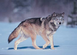 Wolves in Ecosystems Part 2