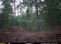 DNR confirms cougars in eastern Upper Peninsula
