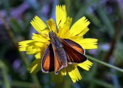 Rogue River Butterfly Count