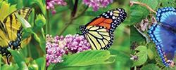 Butterflies and citizen science