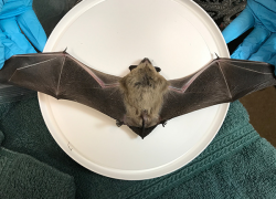 KCHD urges caution as bat and human interactions increase in August