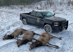 Three more elk poached in northern Michigan