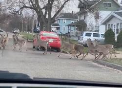 Herd of deer spotted in southwest GR