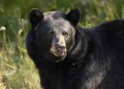 Poached bear leaves behind three cubs; DNR seeking tips