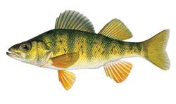 Fishing tip: Targeting perch on Lake St. Clair