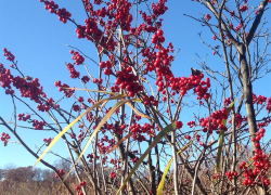Eye catching winterberry