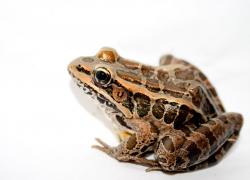 Late season frogs