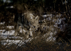 Prevent conflicts with coyotes