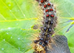 Gypsy moth feeding season nearing its end
