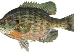 Fishing Tip: Fishing deep for post-spawn bluegill